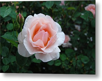 A Pink Rose For You Metal Print by Eva Kaufman