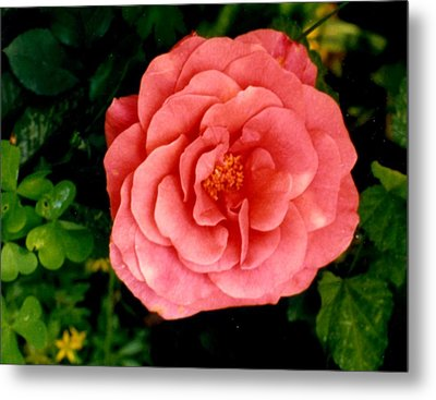 Metal Print featuring the photograph A Pink Rose by Mary Armstrong