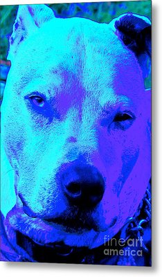 A Pit Bull's Love Is Forever// End Dog Fighting Metal Print by Q's House of Art ArtandFinePhotography