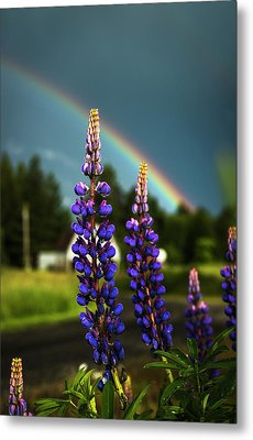 A Rainbow Arcs Over Lupine Blossom Metal Print