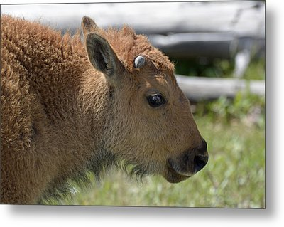A Red Dog In Yellowstone Metal Print by Bruce Gourley