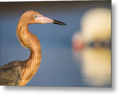 A Reddish Egret Profile Metal Print by Andres Leon