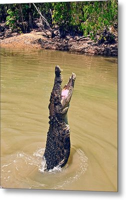 A Saltwater Crocodile (crocodylus Metal Print by Miva Stock