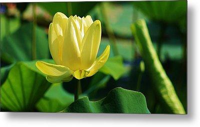 A Single Lotus Bloom Metal Print by Bruce Bley