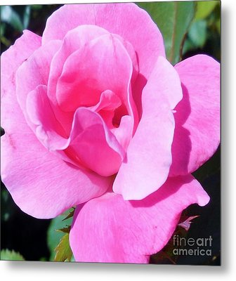 A Single Pink Rose Metal Print by Eloise Schneider