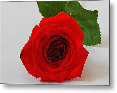 A Single Rose Metal Print by Dan Sproul