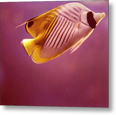 A Striped Butterfly Fish Metal Print