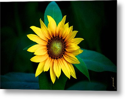 A Sunflower Named Stella Metal Print