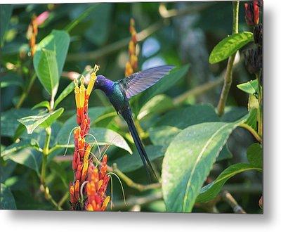 A Swallow-tailed Hummingbird Metal Print