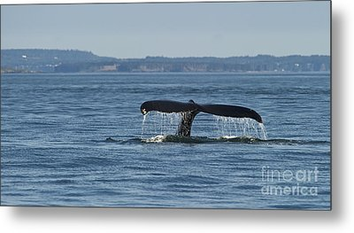 A Tail For Its Fluke... Metal Print by Nina Stavlund