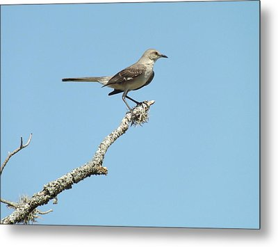 A Texas Mockingbird Metal Print by Rebecca Cearley