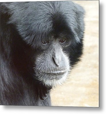 A Thoughtful Siamang Metal Print by Margaret Saheed