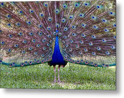 Metal Print featuring the photograph A Vargos Peacock by Tim Stanley