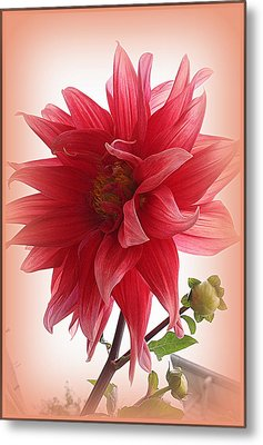 A Vision In  Coral - Dahlia Metal Print by Dora Sofia Caputo Photographic Art and Design