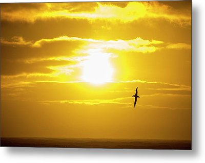 A Wandering Albatross Metal Print by Ashley Cooper