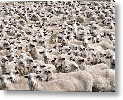 A Wolf In Sheeps Clothing Metal Print by Mike Agliolo