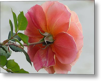 Metal Print featuring the photograph About Face Rose by Cindy McDaniel