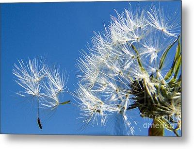 About To Leave - Dandelion Seeds Metal Print by Darleen Stry