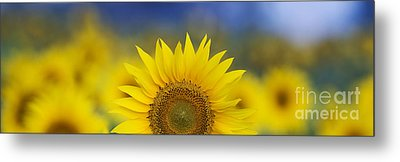 Abstract Sunflower Panoramic  Metal Print by Tim Gainey