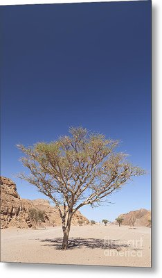 Acacia Tree  Metal Print by Roberto Morgenthaler