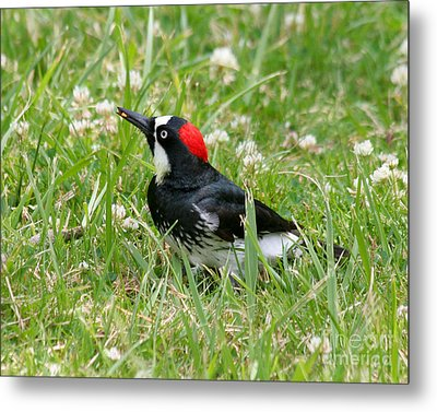 Metal Print featuring the photograph Acorn Woodpecker Foraging by Bob and Jan Shriner