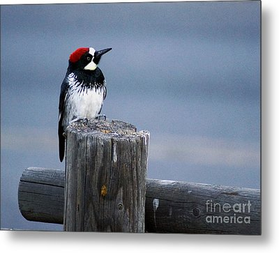 Metal Print featuring the photograph Acorn Woodpecker by Gary Brandes