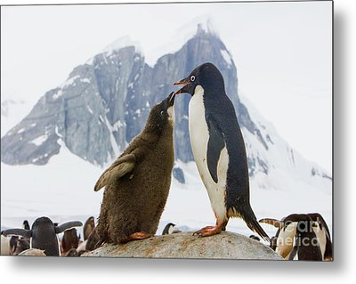 Adelie Penguin Chick Begging For Food Metal Print