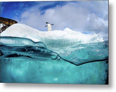 Adelie Penguin On Iceberg Metal Print by Justin Hofman