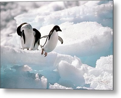 Adelie Penguins Metal Print by Art Wolfe