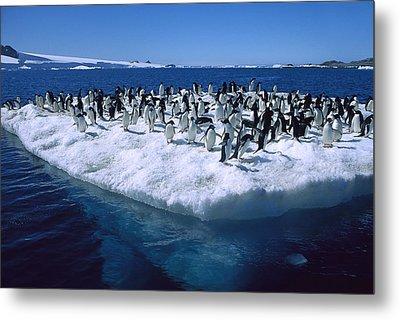 Adelie Penguins On Icefloe Antarctica Metal Print by Colin Monteath
