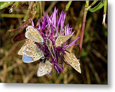 Adonis Blue Butterflies On Knapweed Metal Print by Bob Gibbons