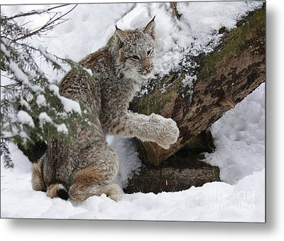 Adorable Baby Lynx In A Snowy Forest Metal Print by Inspired Nature Photography Fine Art Photography