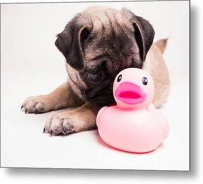 Adorable Pug Puppy With Pink Rubber Ducky Metal Print by Edward Fielding