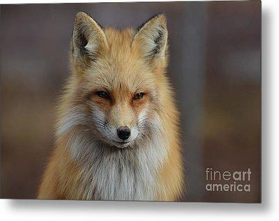 Adorable Red Fox Metal Print