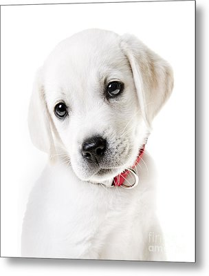 Adorable Yellow Lab Puppy Metal Print by Diane Diederich