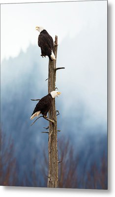 Adult Bald Eagles  Haliaeetus Metal Print by Doug Lindstrand