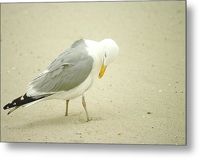 Metal Print featuring the photograph Adult Seagull Preening by Suzanne Powers