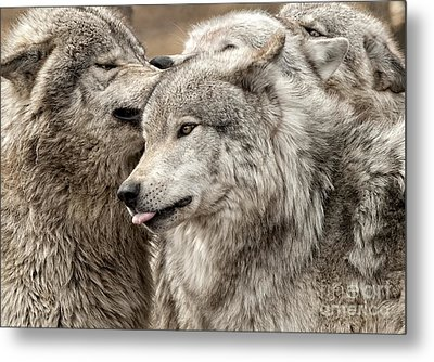 Metal Print featuring the photograph Adult Timber Wolf by Wolves Only