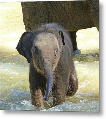 Adventurous Baby Asian Elephant  Metal Print