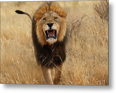 Africa, Namibia Aggressive Male Lion Metal Print by Jaynes Gallery