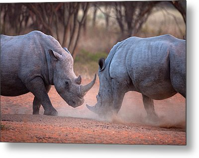 Africa, Namibia White Rhinos Fighting Metal Print