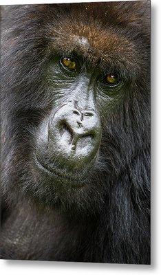 Africa Rwanda Female Mountain Gorilla Metal Print by Ralph H. Bendjebar