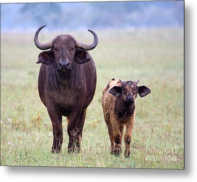 Metal Print featuring the photograph African Buffalo And Calf by Chris Scroggins