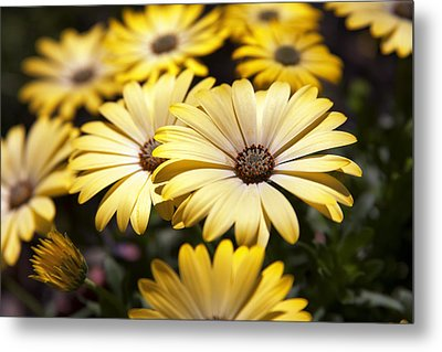 African Daisies Metal Print by Caitlyn  Grasso