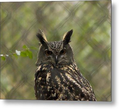 African Eagle Owl Metal Print