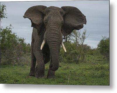 African Elephant Charging Sabi-sands Metal Print