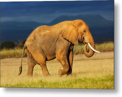 African Elephant Eating Grass Metal Print by Maggy Meyer