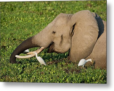 African Elephant Feeding Alongside Egrets Metal Print by Tony Camacho