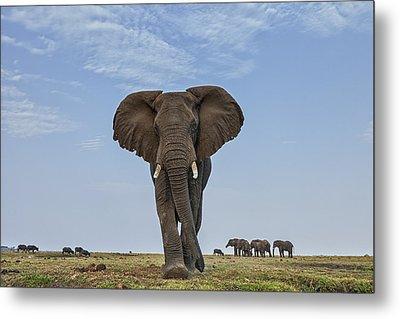 African Elephant Female On Defensive Metal Print by Vincent Grafhorst