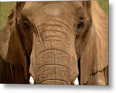 Metal Print featuring the photograph African Elephant by Nadalyn Larsen